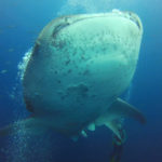 WhalesharkM1-3